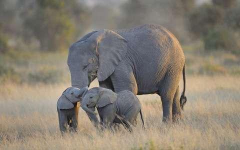 elefánt állatkölyök