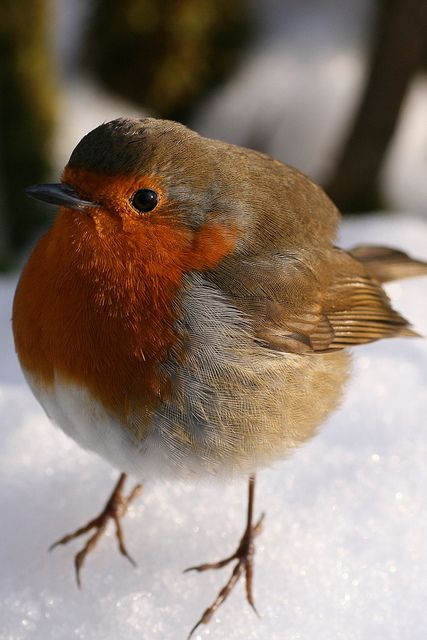 """English Robin. 'This was the tamest bird I have ever seen. It was bitterly cold and I'm sure he/she was hungry but it was on my shoulder, on my head, in my camera bag. No need for a telephoto lens here, this was taken with my macro lens. It stayed with me for about 20 minutes and I ended up going back to the car to get my sandwiches and feeding him out of my hand. He made my day."""" photo & text by G. Killon on flickr"""