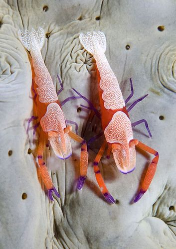 Not your regular grocery store shrimp... By Marchione Giacomo