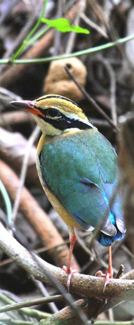 Indian Pitta, breeds mainly in the sub-Himalayas & winters in southern India & Sri Lanka. Usually found in thick undergrowth.