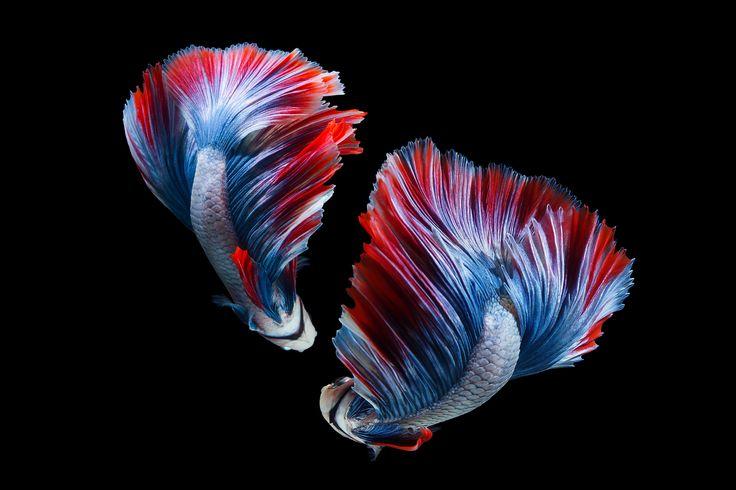 Betta fish - Betta fish, siamese fighting fish on Black ...