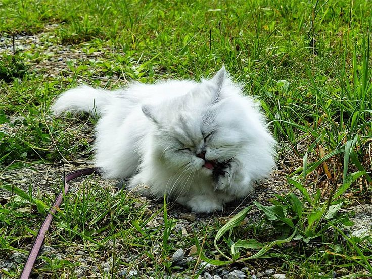 😻 . #cat #katze #katzenliebe #persiancatlover #perserkatze