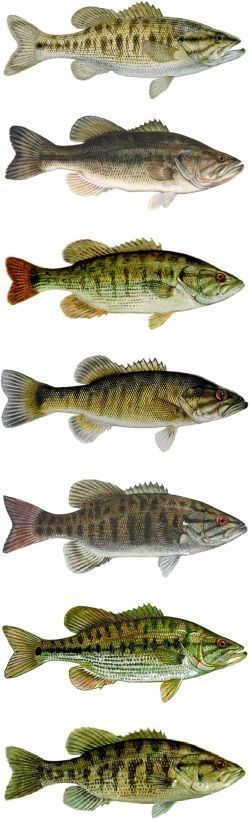Free Bass Lures - Know Your Bass | Learn Various Species Of Bass