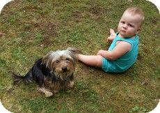 Boston, MA - Yorkie, Yorkshire Terrier Mix. Meet Rascal a Dog for ...