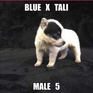 Litter of 7 Australian Cattle Dog puppies for sale in JEFFERSON, SC. ADN-36624 on PuppyFinder.com Gender: Male. Age: 4 Weeks Old