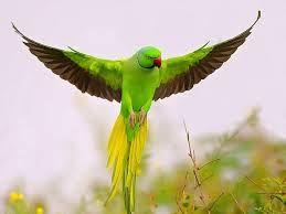 parakeet flying - Google Search
