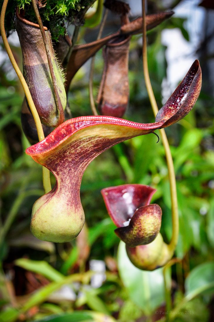 Insectivorous plants - exotic in your home