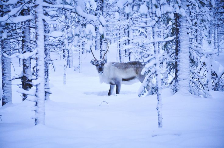 Mr Rudolph. Our national pride of Lapland is the home to thousands of reindeer which often accompany you on the cross-country skiing tracks.