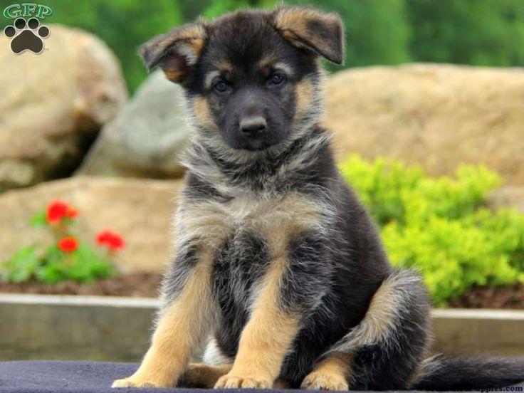 German Shepherd Puppies For Sale In PA!