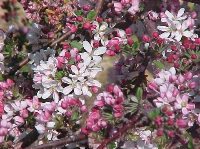 39 pink princess 39 dwarf flowering crabapple tree or shrub for Dwarf flowering trees