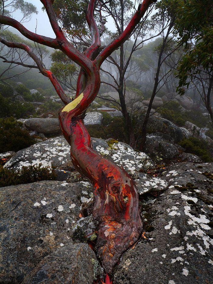 Eucalyptus coccifera dominates Tasmania's tree line. It grows up to an altitude of 1200 metres