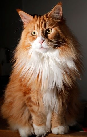 Maine Coon, Red Solid & White (d 09). Int. Ch. King of Lion's Arwen
