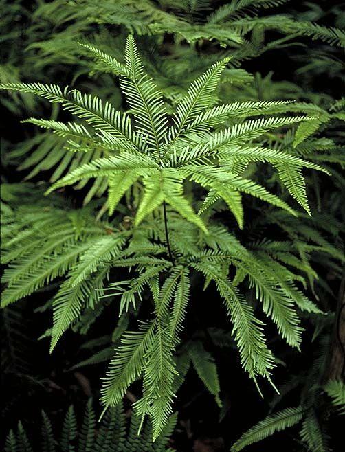 Sticherus flabellatus -- Ultimate branches of mature fronds