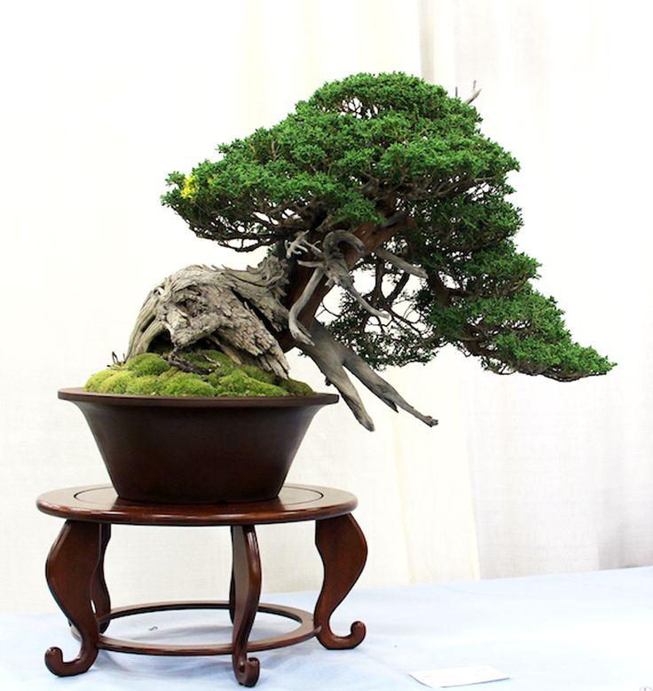 Boon Manakitivipart's Itoigawa Sargent Juniper that won the Finest Medium Size Bonsai award at the 5th U.S. National Bonsai Exhibition.