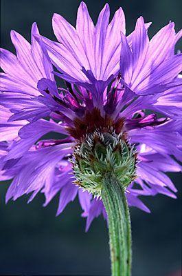 Cornflower - pretty in purple!