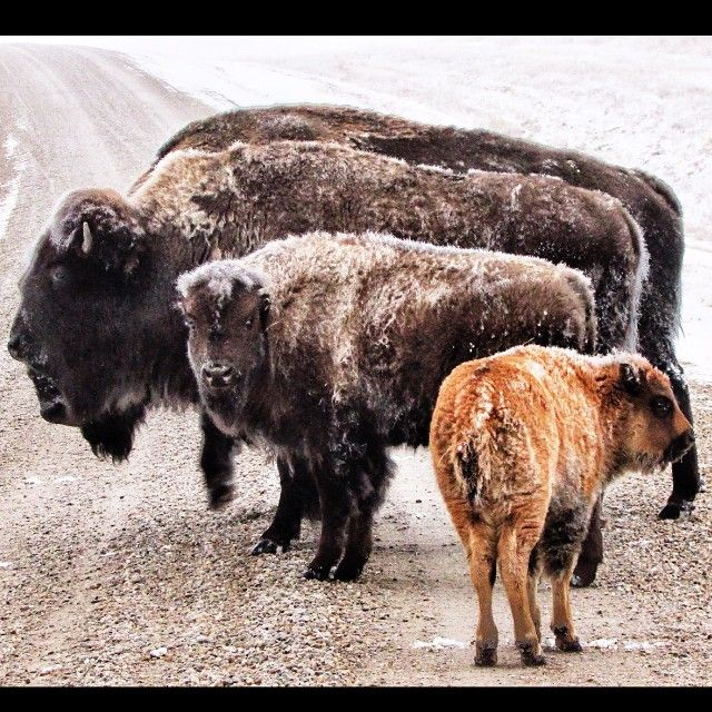 lacey_bearIt's a cold one today... For everybody! #bison