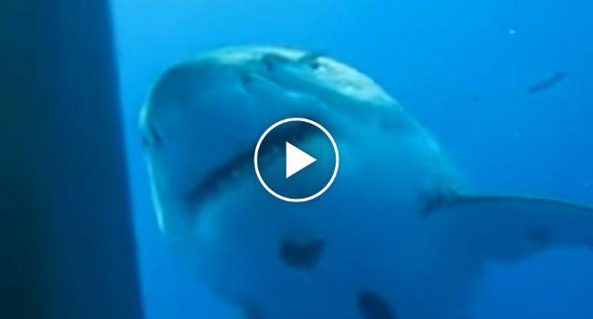 Será Este o Maior Tubarão Branco Alguma Vez visto?