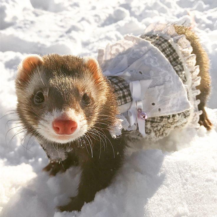 雪めら❄⛄ 雪遊びをするめらちゃん。 . . Snow MERA.⛄❄ MERA play in the snow . . . #feretto #フェレット #nature #ferret #ferretgram #instalife #furet #instaferret #follow #ferrets #igs #instanature #ferretism #ferretsofinstagram #pet #雪貂 #animalsofinstagram #igers #ferretnation #natura #ferretworld #ferretlover #followme #instagood #animals #animal #ferretts #めら #ペット #ふわもこ部