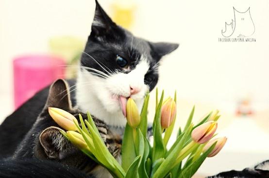 Smo #cat #tulips