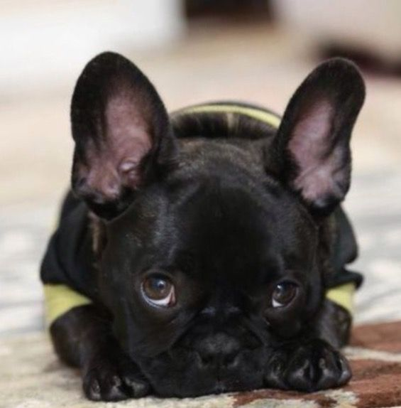 French Bulldog Puppy❤️                                                                                                                                                                                 Más