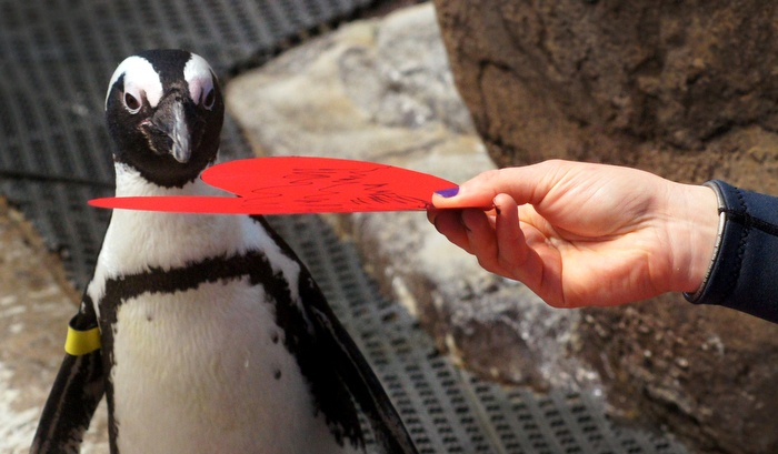 Penguins get valentines at the California Academy of Sciences and use them as nesting material.