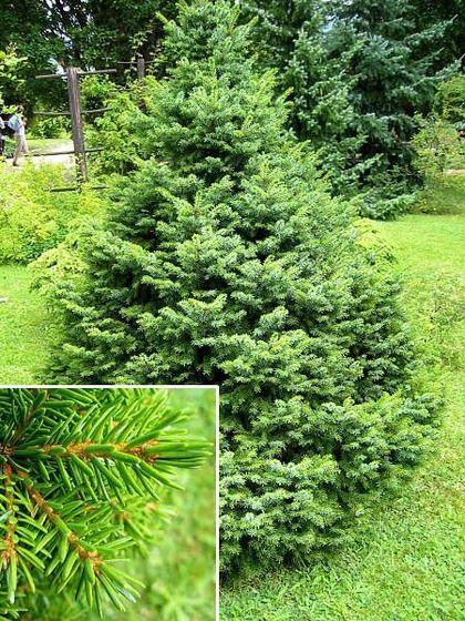 Smrek omorikový Nana 50/60 cm, kopaný Picea omorica Nana