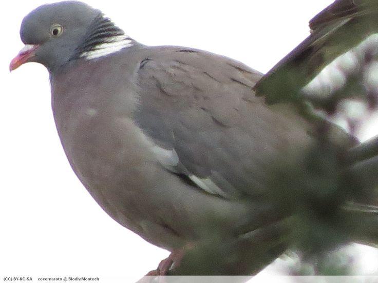 Pigeon ramier (Columba palumbus) – Biodiv Montech - 05.2014