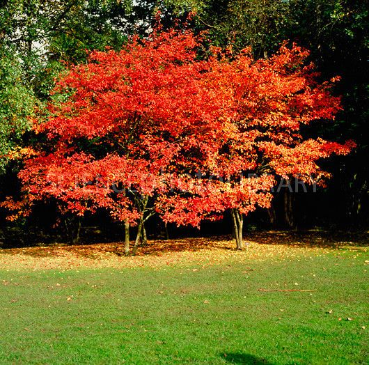 SERVICEBERRY TREE IMAGE AMELANCHIER ALNIFOLIA | amelanchier canadensis,amelanchier alnifolia serviceberry,amelanchier ...
