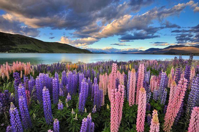 Красочные цветы люпина на озере Текапо, Новая Зеландия - Туристический портал - Мир красив!
