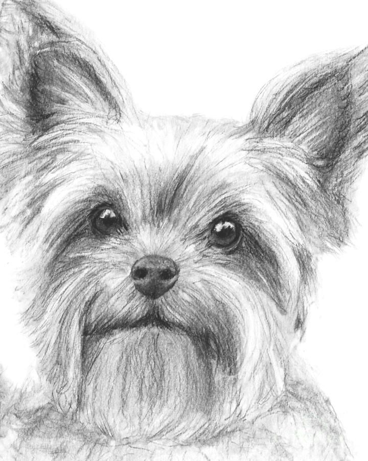 Yorkshire Terrier Drawing by Kate Sumners - Yorkshire Terrier ...                                                                                                                                                      Más