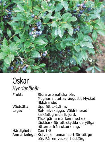 amerikan. blåbär planterade vid stallväggen. Jag har två olika sorter men då jag inte har kvar lappen är jag osäker på sort.