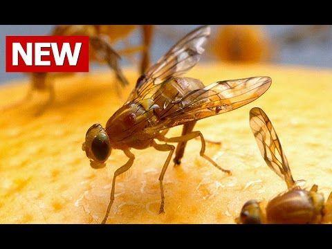 Best 25+ Fruit flies in house ideas on Pinterest   Fruit flies ...