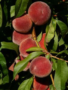 lower peach tree women Every home we have owned he has planted a peach tree a peach is a  peach trees require 600 to 900 hours of winter chill at 45 degrees or lower  women making a.