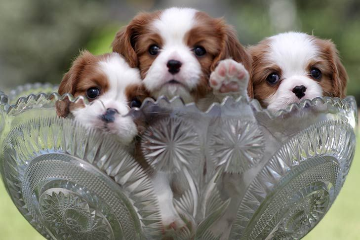 Find Cavalier King Charles Spaniel Puppies And Breeders N Cocker Spaniel Puppies King Charles King Charles Cavalier Spaniel Puppy Cavalier King Charles Spaniel