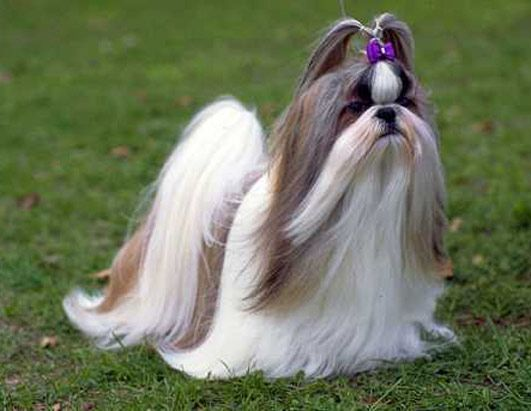 Shih Tzu, so pretty! My Charlie could look like this with lots of work.