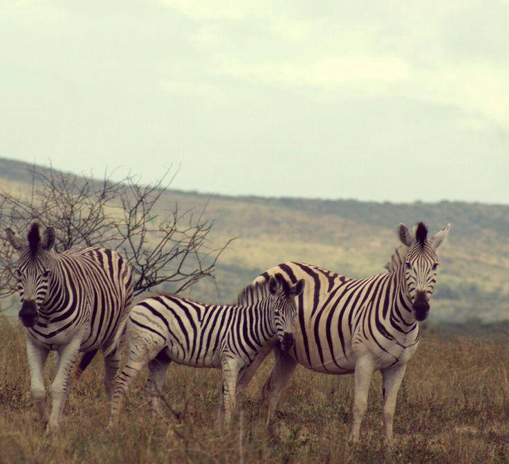 Zerbras - Hluhluwe game reserve, South Africa