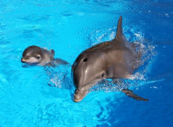 Bottlenose Dolphin Mother and Baby