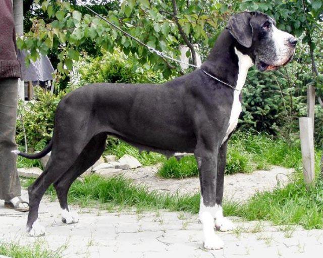 Lorenza Moloseum Greatdanes Dog Dogs Great Dane Dane