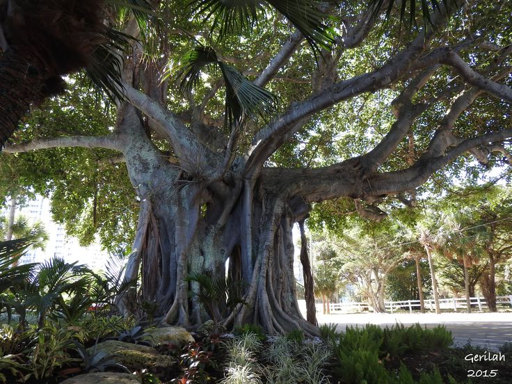 Banyan Tree in Pompano Beach, Florida