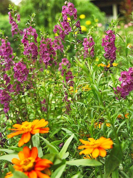 Use Bold Color in Hot Spots  One of our favorite annuals is angelonia. It seems like this tough plant can take just about any sort of weather. And the deep blue flowers of 'Angelmist Purple' make an ideal contrast for the bright 'Orange Profusion' zinnia blooms. Growing Conditions: Full sun and well-drained soil.