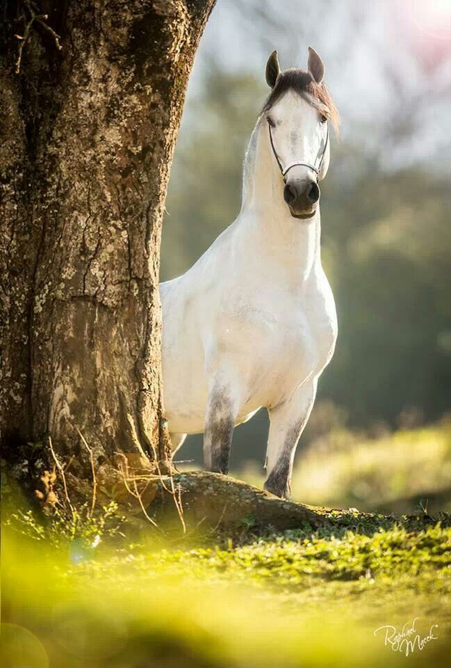 Horse, hest, beautiful, gorgeous, tree, grass, white beauty, animal, photograph, photo Caballo, hermoso,maravilloso, árbol , césped , hermoso blanco, animal, fotografía, foto
