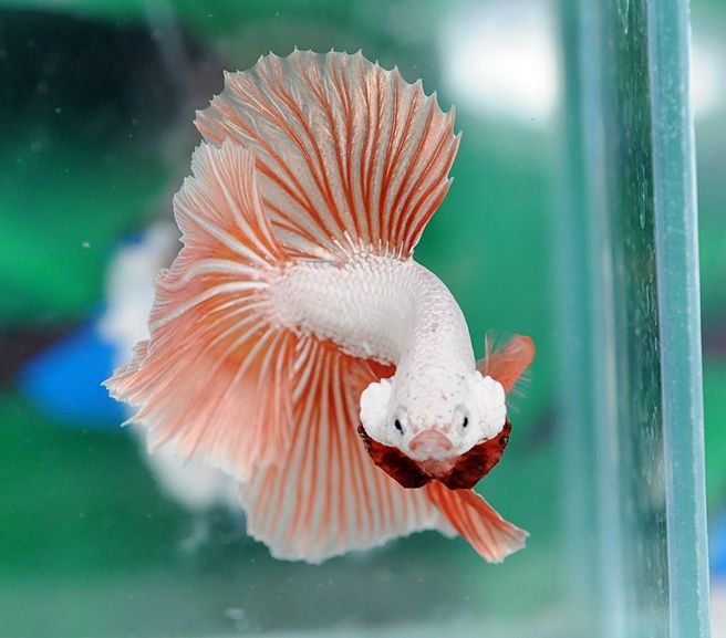 1000 ideas about betta fish on pinterest betta live for Fish that get along with betta