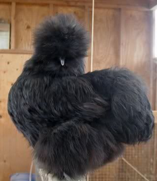Black Silkie Bantam