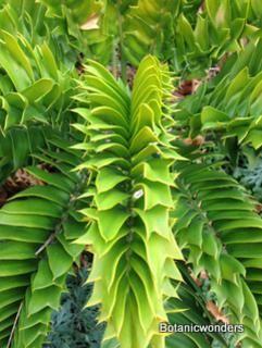 Encephalartos Latifrons      leaves             Albany Cycad