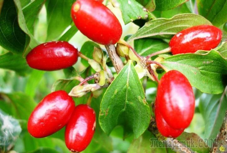 Кизил обыкновенный: посадка, уход, размножение и распространенные сорта