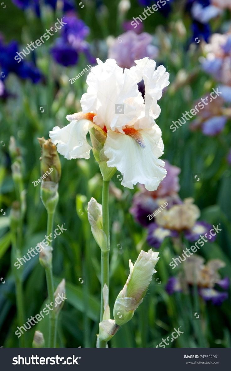 10 best spring blooming plants for long island gardens images on beautiful white iris blooms in may izmirmasajfo Images