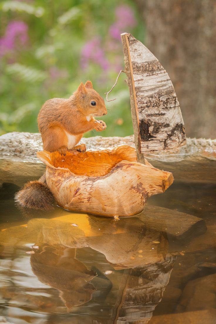 female red squirrel reflected standing with water pool in a boat