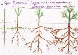 Картинки по запросу корневая система арбуза