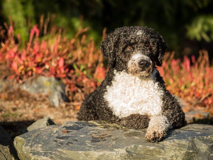 Wasserhunde: Sportliche Vierbeiner mit besonderer Frisur