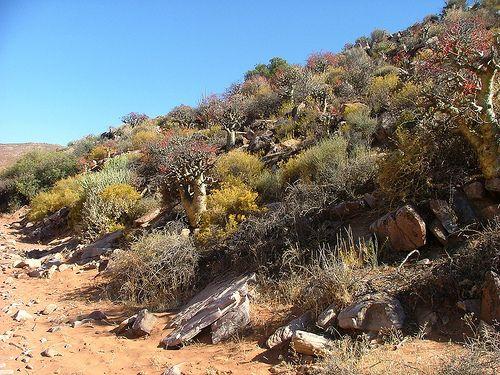 Tylecodon paniculatus (Afrikaans:Botterboom - English: Butter Tree) - Between Eksteenfontein and Khubus, Richtersveld, Northern Cape Province, South Africa.